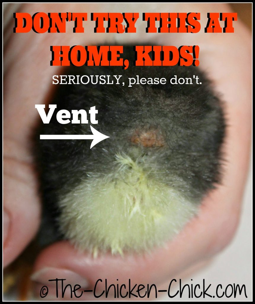 Vent sexing sounds and appears very straightforward, but it is a true art form and should not be attempted by backyard chicken keepers. When improperly performed, day old chicks are at risk of disembowelment and death.