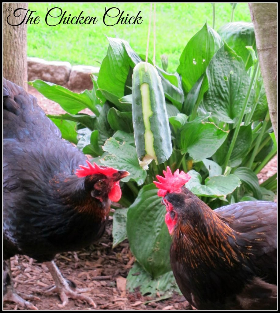 Cucumber Tetherball is good entertainment for chickens and their keepers!