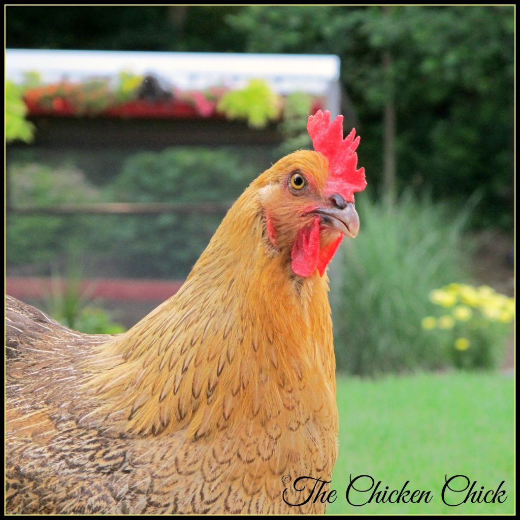 Marans hen: half Black Copper and half Wheaten