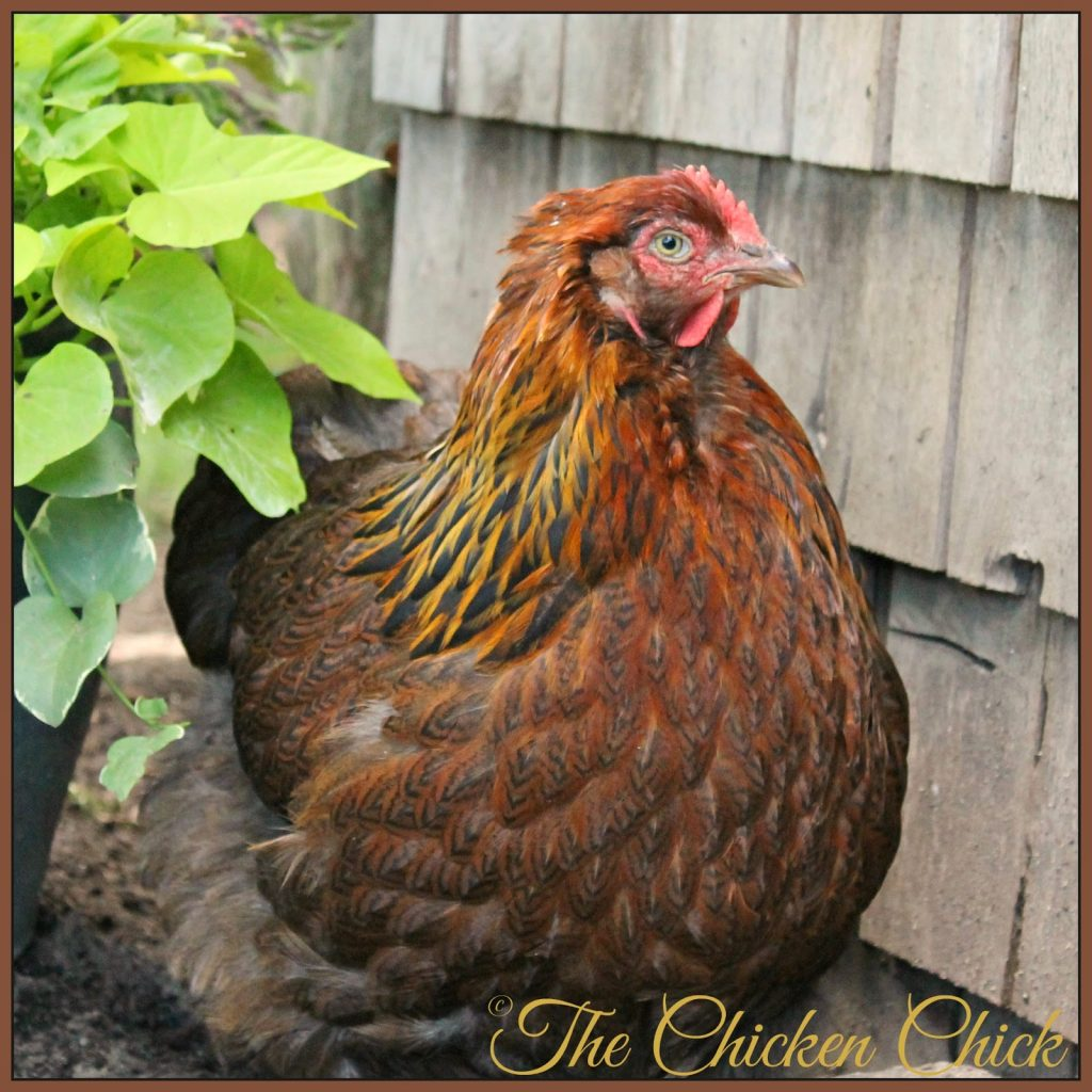 Bertha, my Partridge Cochin