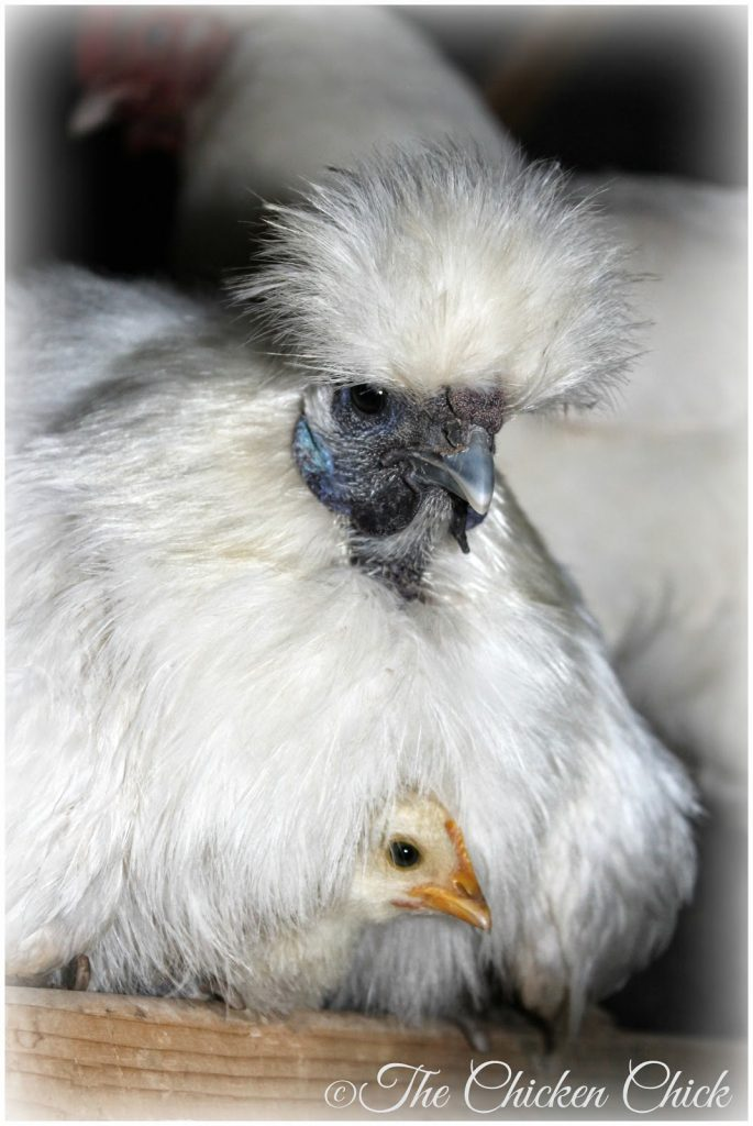 5 year old White Silkie hen with surrogate Serama chick.