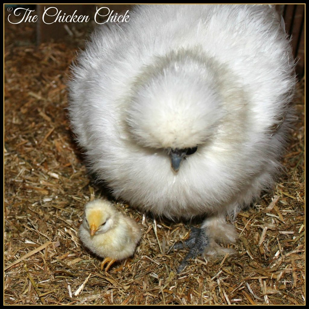 Frieda, my white Silkie hen, hatched a Serama chick this week.