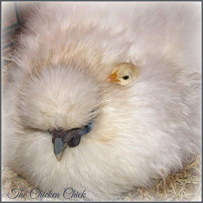 Silkie hen, Serama chick.