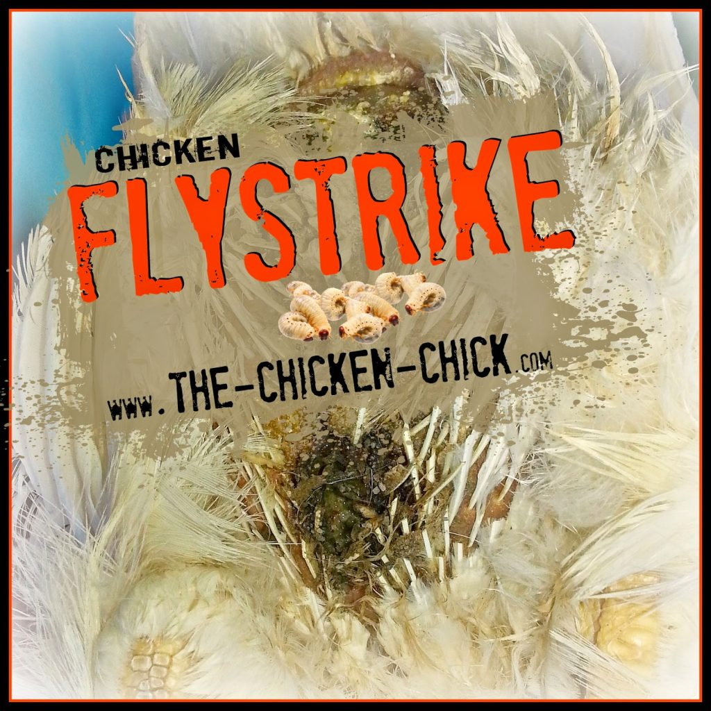 Backyard Chickens And Flies flystrike in backyard chickens, causes, prevention & treatment