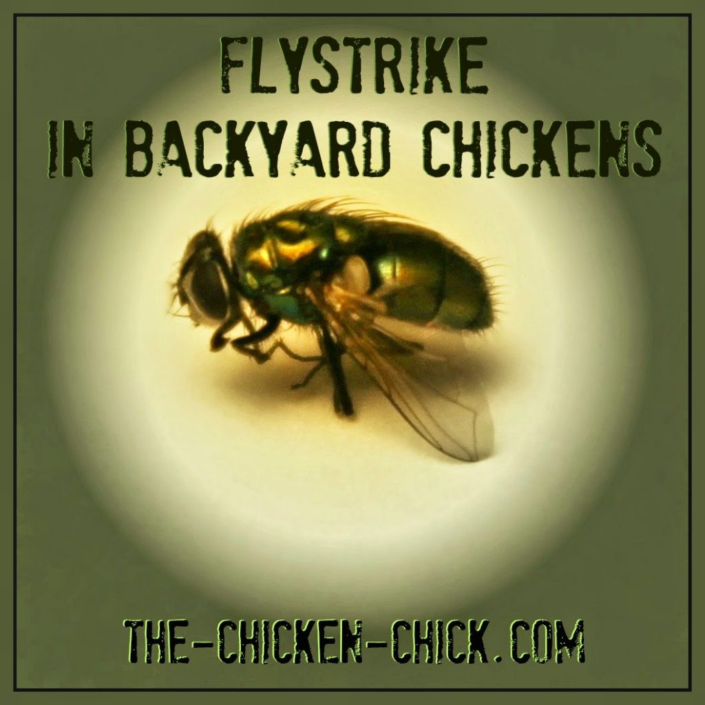 Flies favor dark, moist locations for laying their eggs and while any area of the body can be affected, the vent area of a chicken is a fly favorite. Add stinky to the list of preferred fly aromas and a dirty chicken butt is a recipe for flystrike.