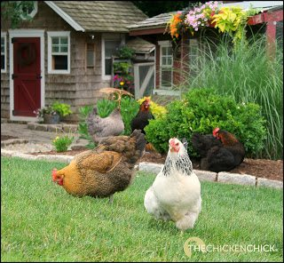 The Chicken Chick's Sweet Coop® Zeolite, Because a wet coop stinks!™