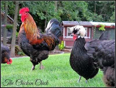 Blaze & Doc Brown (White Crested Black Polish hen)