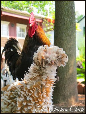 Blaze (Black Copper Marans rooster) and Calista Flockheart (Tolbunt Polish Frizzle hen) are both molting.