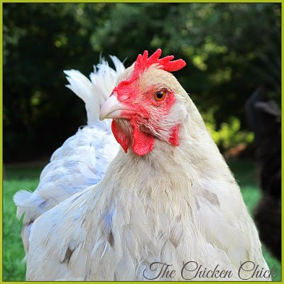 Blue Splash Marans hen