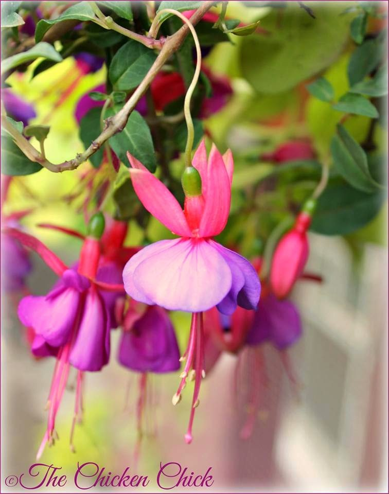 Fuchsia flower, tiny ballerinas