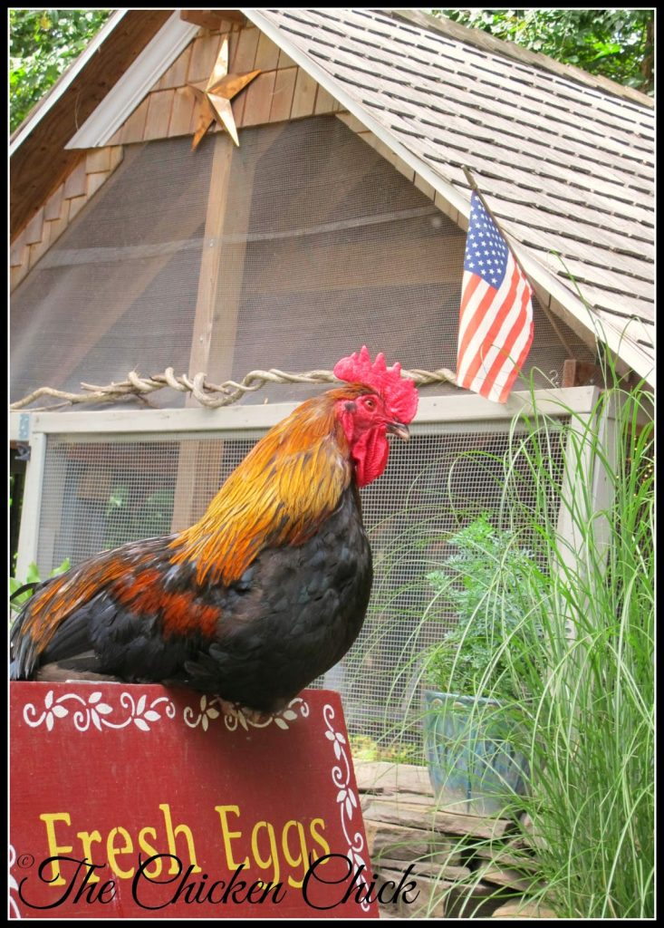 Blaze, Black Copper Marans rooster