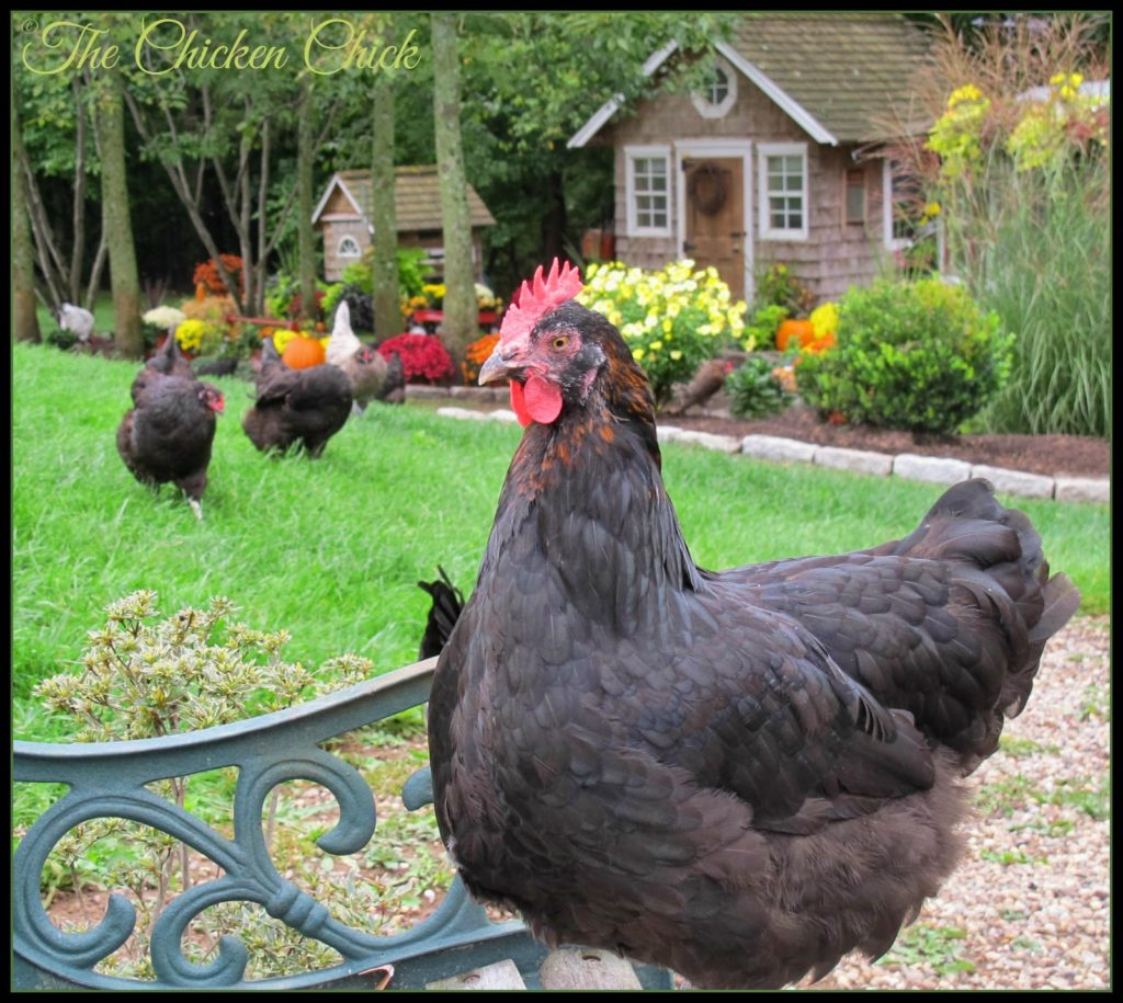 Black Copper Marans hen.