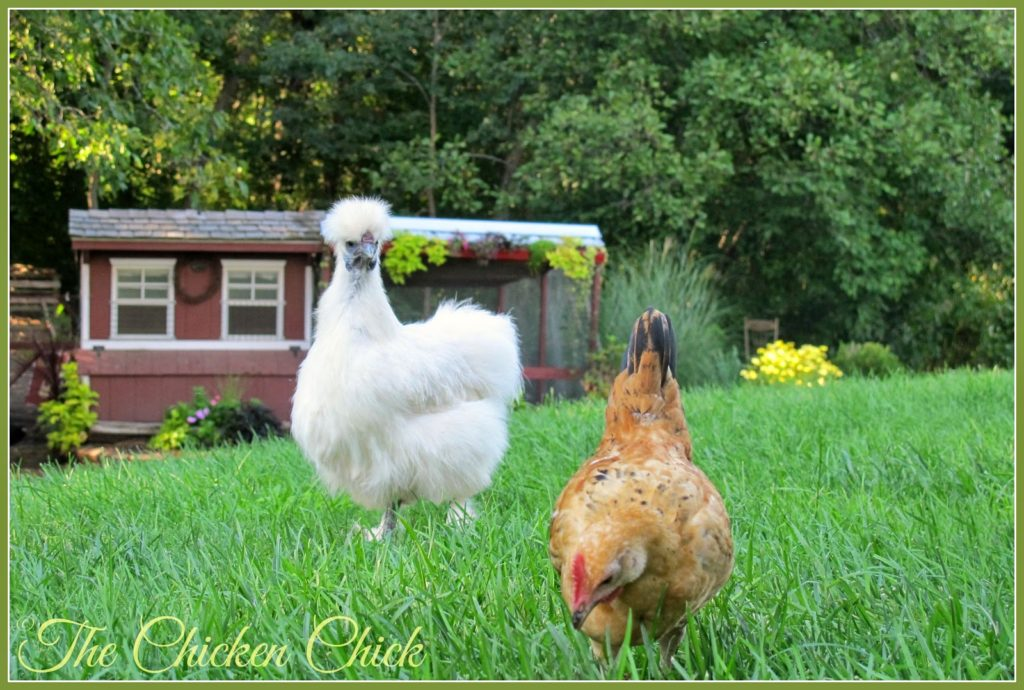 Silkie hen & Serama cockerel