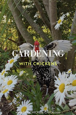 Landscape Gardening With Chickens The Chicken Chick