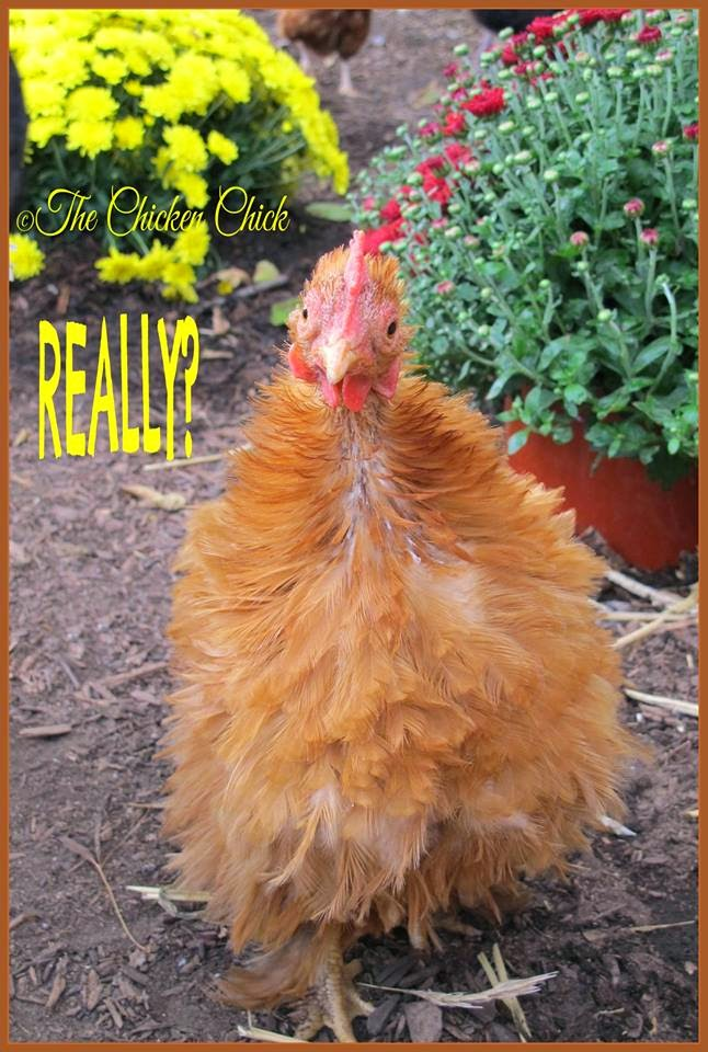 Really? (Bantam Cochin Frizzle, Rachel)