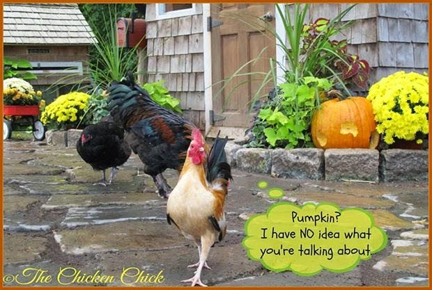 Pumpkin? I have NO idea what you're talking about.(Serama cockerel)