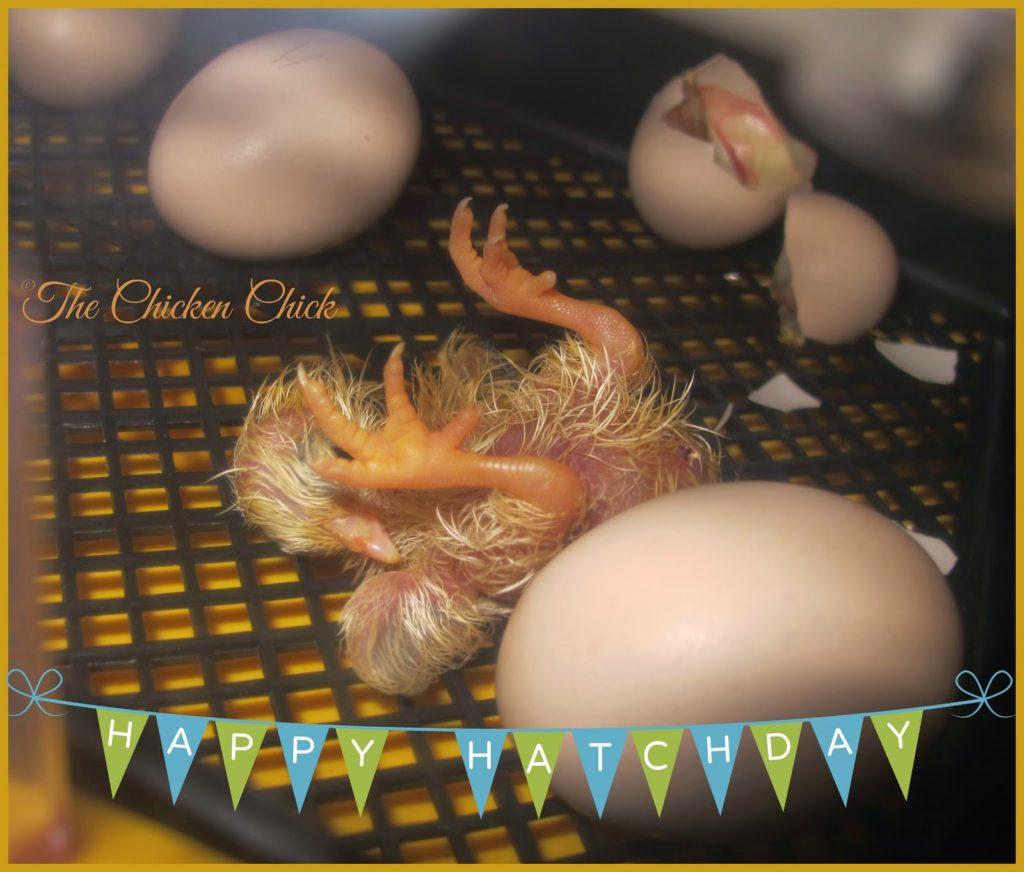 Serama chick hatching