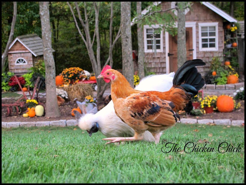 Freida (White Silkie hen) & Frederick (Serama Cockerel)
