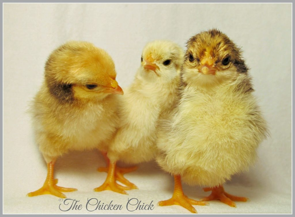 Serama chicks