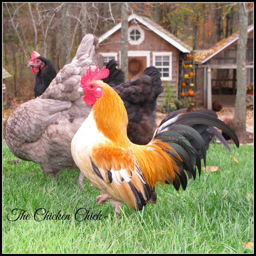 Caesar, Serama rooster.