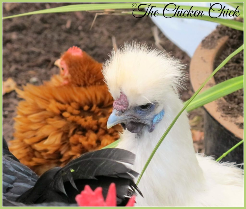 Freida, White Silkie hen and flock matriarch.