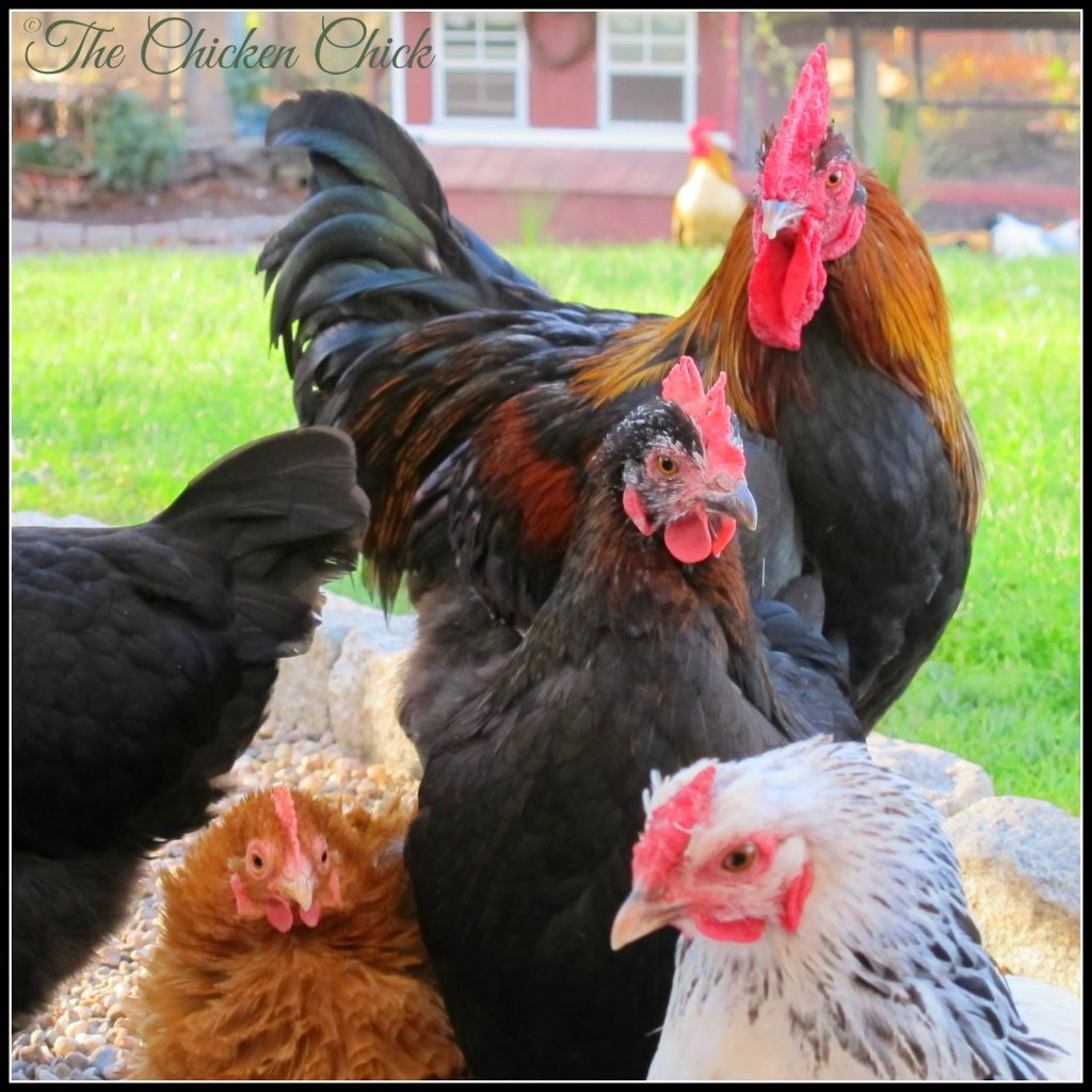 Blaze (Black Copper Marans rooster) with the ladies.