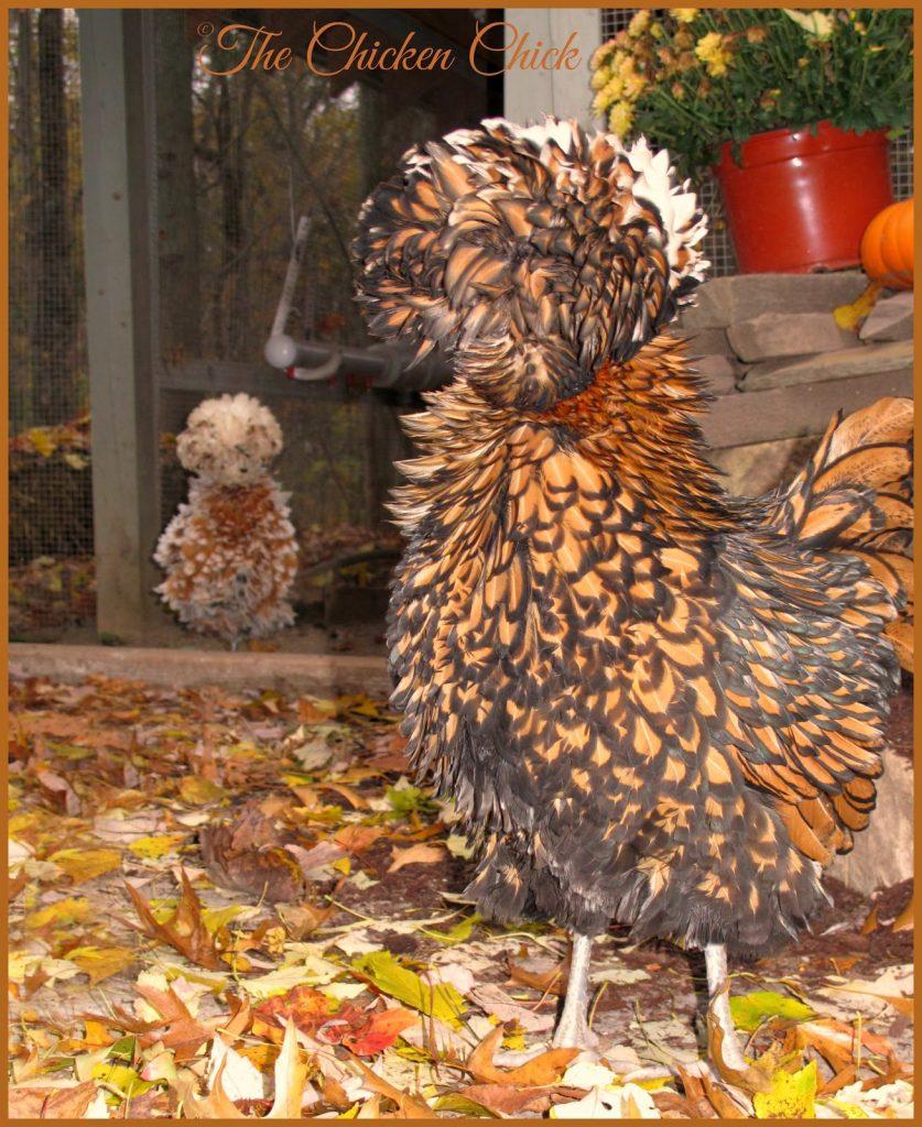 Tolbunt Polish Frizzle hens