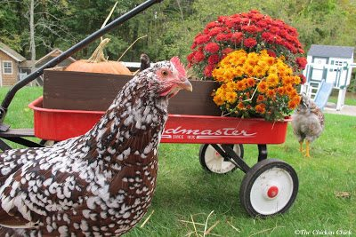 Speckled Sussex hen at The Chicken Chick®