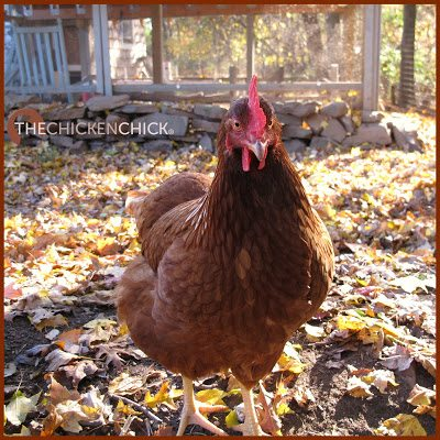 Red Sexlink hen