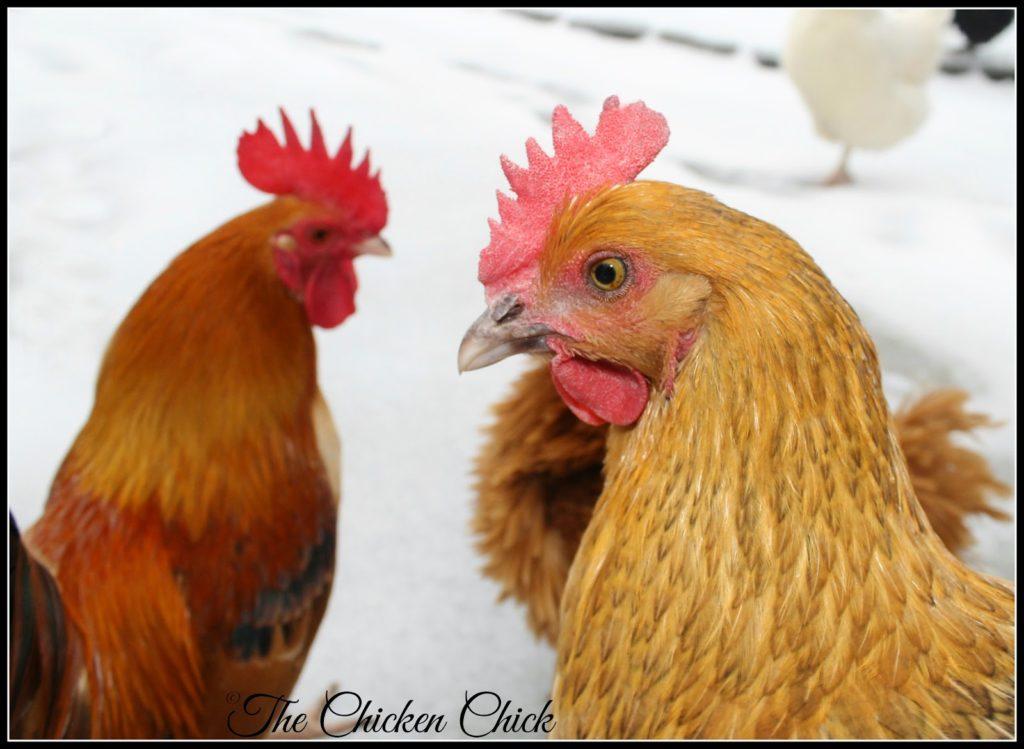 Serama cockerel (left, Caesar) and Marans hen (right, ellen deHeneres)