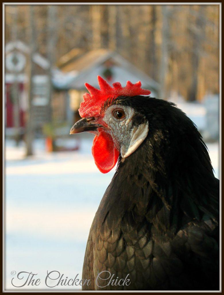 Black White Faced Spanish hen (Margarita)