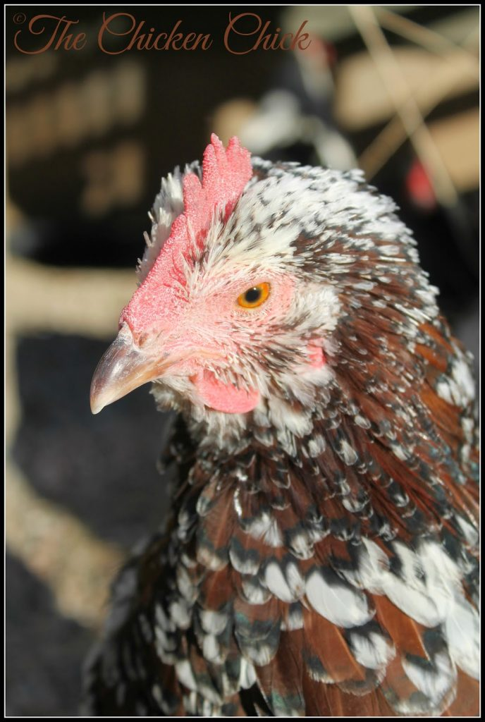 Kate-Speckled Sussex hen.