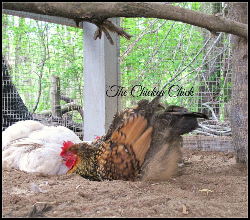 Dust-bathing and preening are important activities to a chicken that help keep parasite populations down and feathers in good working order. Sweaters prevent a chicken from maintaining their own hygiene if the bird cannot reach the feathers or toss dirt into the feathers and shake off afterwards.