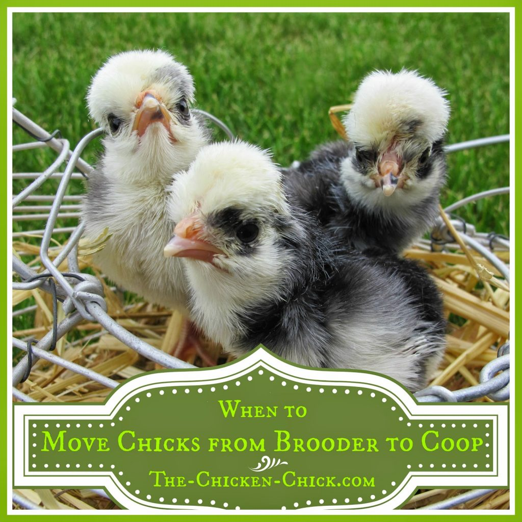 When to Move Chicks from Brooder to Coop