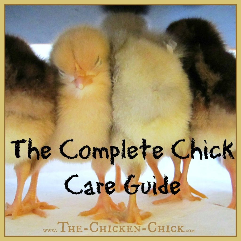 Baby chicks will be filling feed store bins and arriving in post offices around the country soon, so I have rounded up some tools to help the new chicken keeper with chicken breed selection, chick housing options, feeding questions and trouble-shooting problems common in baby chicks. If you are new to the chicken adventure, welcome! If you're an ol' pro, you still might find a few tips that will help you keep your chicks healthier and happier and keep your family safe while doing so.