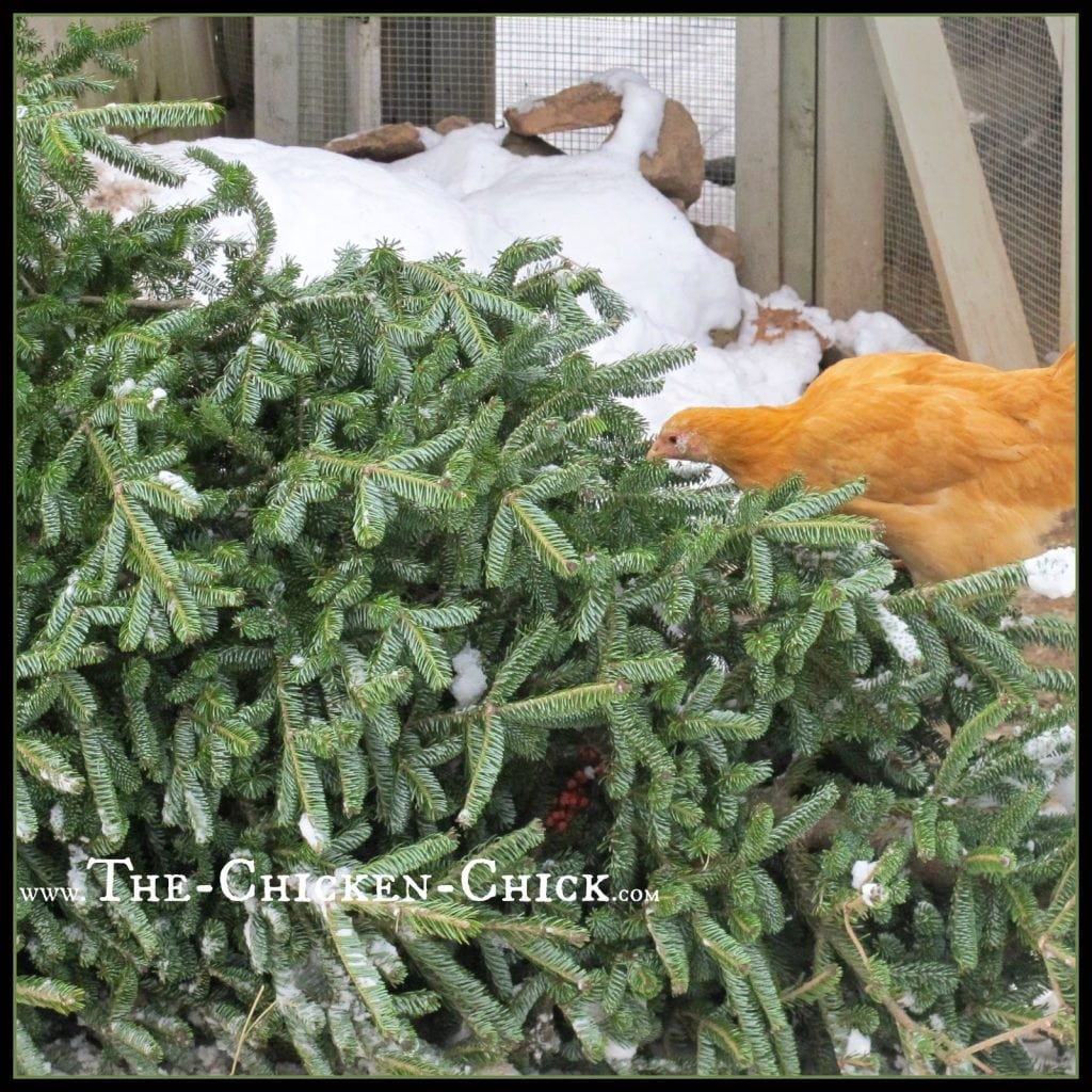 Don't recycle that Christmas tree until the chickens have had a chance to use it as a jungle gym!
