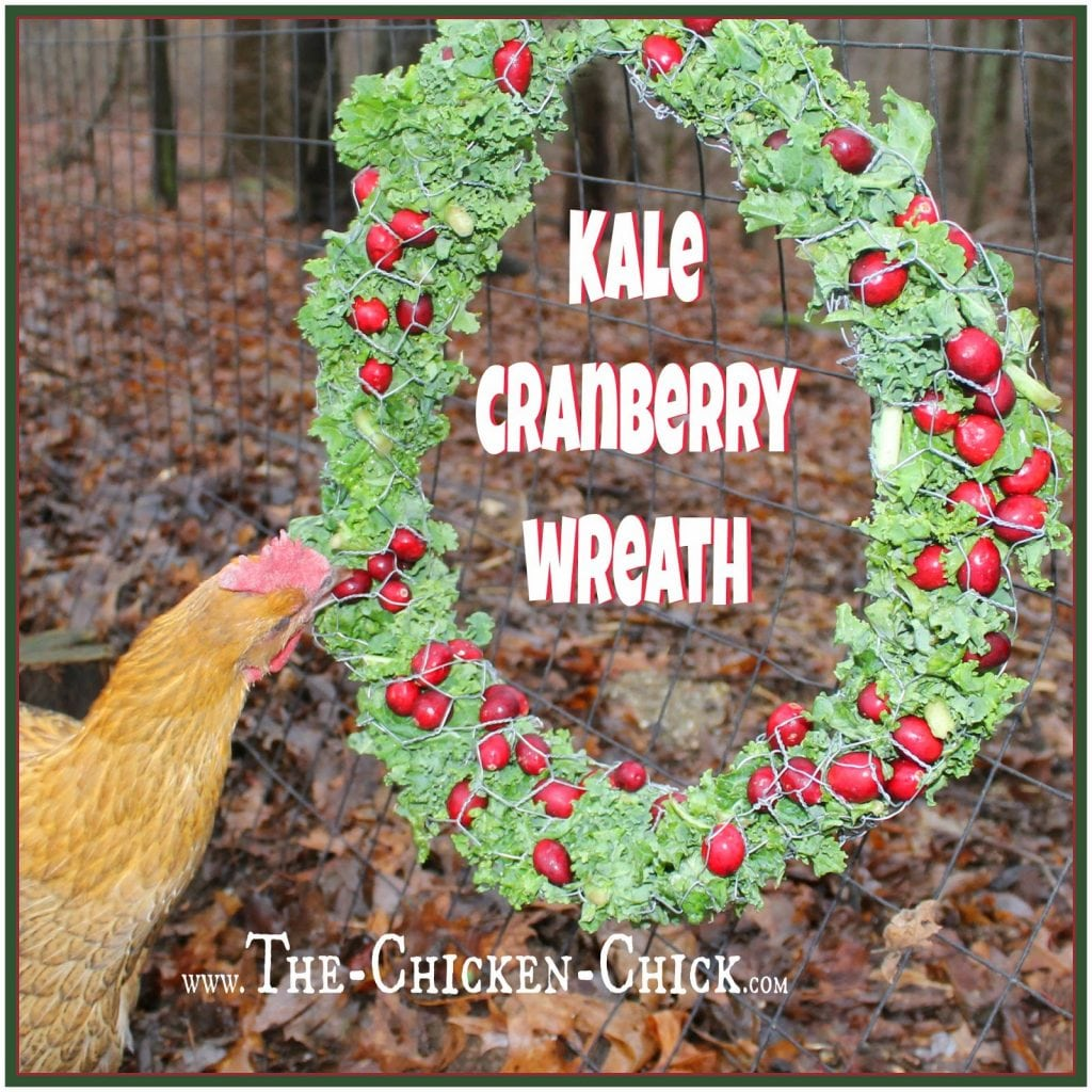 "Make a Kale Cranberry wreath for the chickens with a 44"" x 10"" piece of chicken wire. Roll the chicken wire into a tube and connect the ends. Bend back any protruding wire to avoid anyone getting poked while pecking. Stuff the wreath form with kale and cranberries and serve."