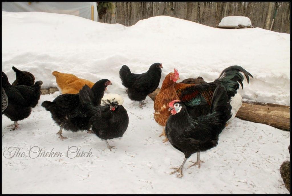 Doc Brown (White crested Black Polish hen with Margarita, White Faced Black Spanish pullet)
