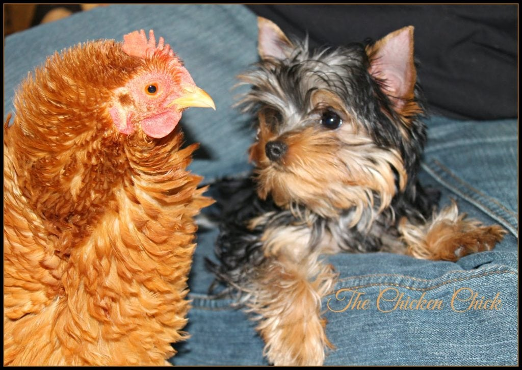 My new Yorkie puppy, Milo, met Rachel for the first time recently. Milo wanted to play. Rachel...not so much.