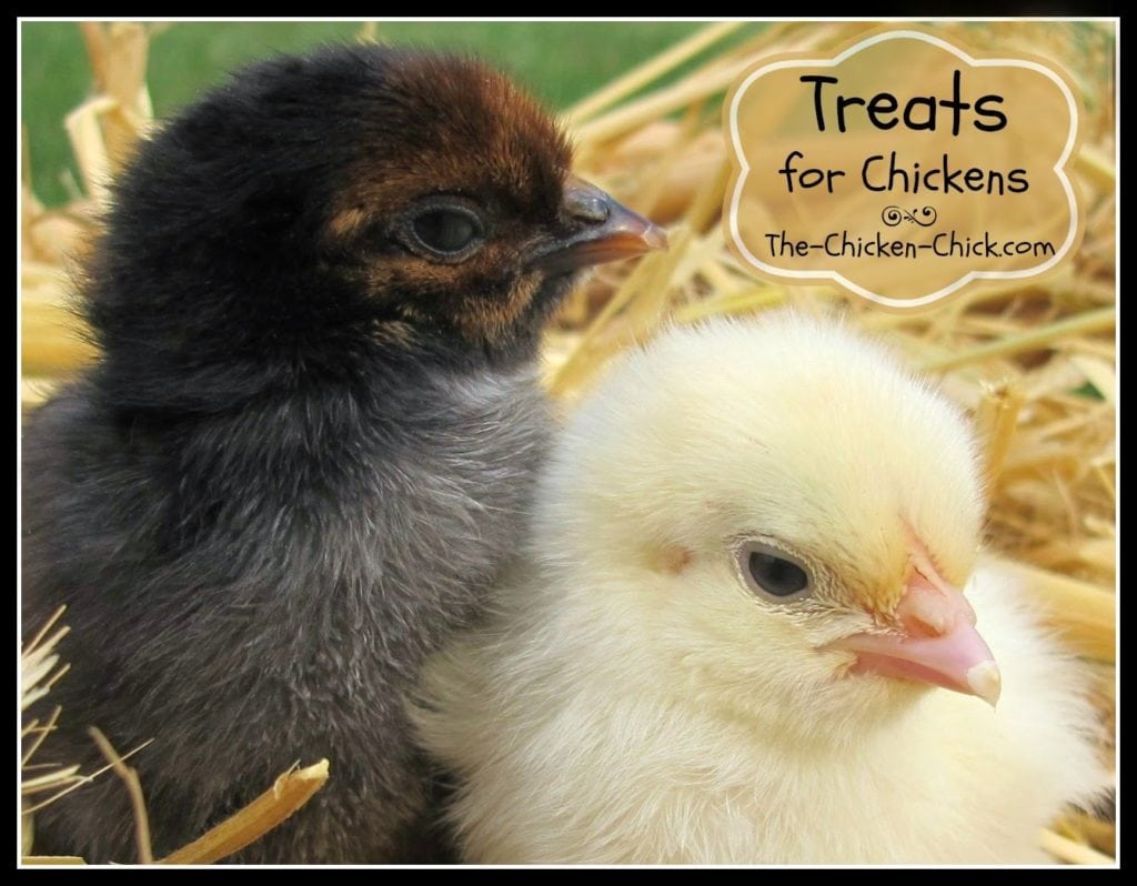 Treats guide for chicks and older chickens