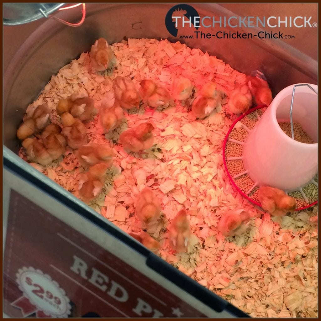Chicks in feed store. photo via The Chicken Chick®