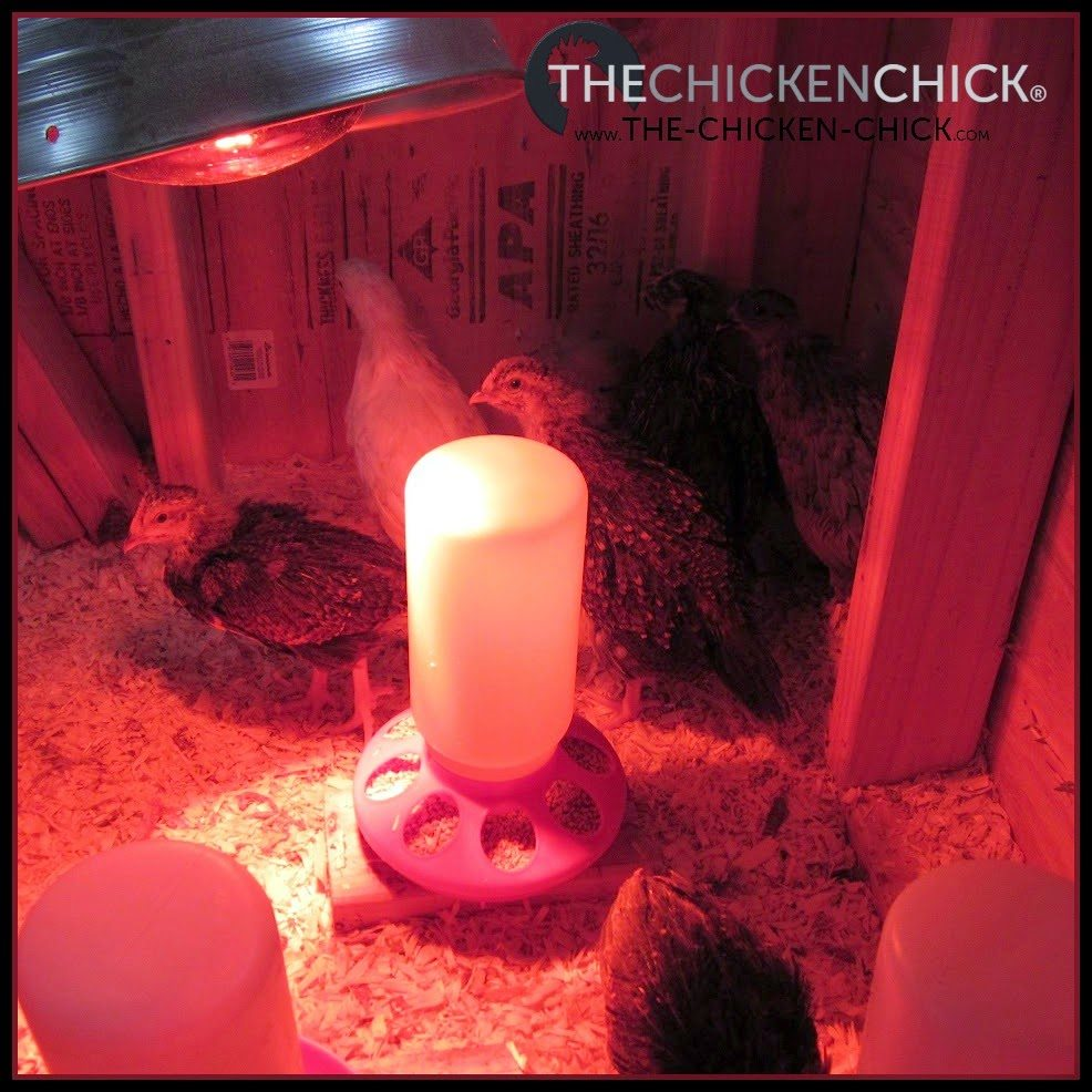 Overheating baby chicks causes picking problems.