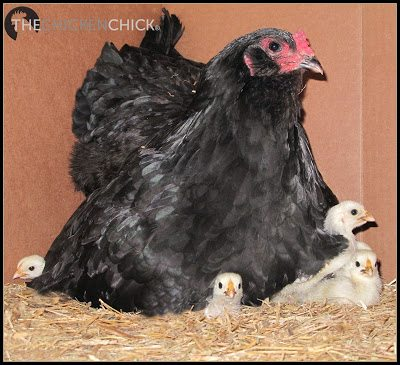 Olive Egger hen with her adopted Silver Spangled Hamburg chicks. ~The Chicken Chick®