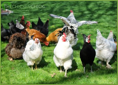 The flock. ~The Chicken Chick®
