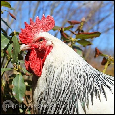Chevy, Light Sussex rooster. ~The Chicken Chick®