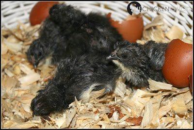 Black Copper Marans chicks. ~The Chicken Chick®