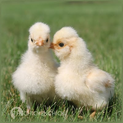 Male Polish crested chicks photo via The Chicken Chick®