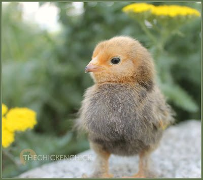 One of my newest peeps, a Mille fleur d'Uccle chick