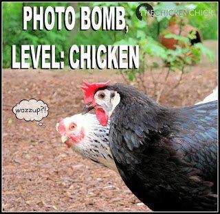Chicken photo bomb