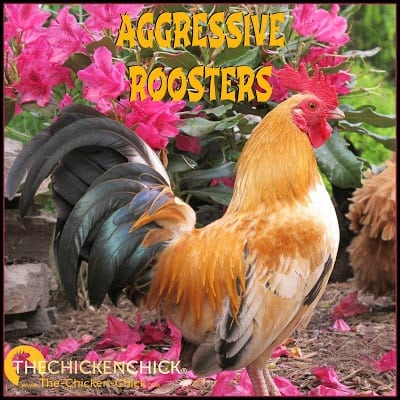 Most roosters are not aggressive towards people, but when one is, what is a backyard chicken keeper to do? Nobody wants to live in fear of being flogged, attacked, spurred or chased by one of their pet chickens and no one wants a child to be hurt or traumatized in their backyard.